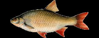 Виды речных и озерных рыб (Красноперка)