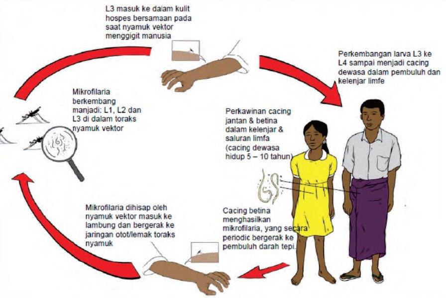 Penualaran penyakit kaki gajah
