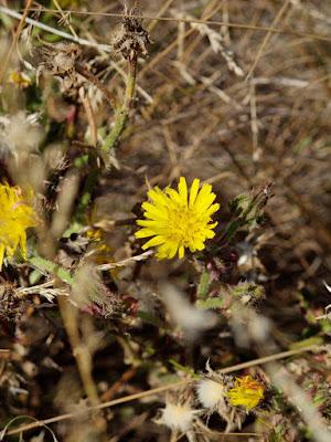 yellow flower jawbone reserve williamstown australia photo by sue wellington