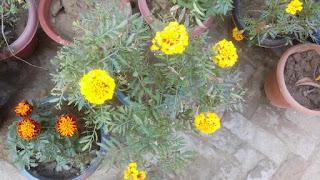 marigold flower 2103
