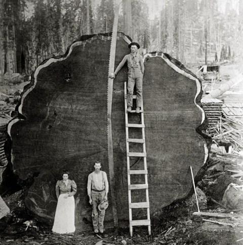 Υλοτόμοι ποζάρουν μπροστά στο «κατόρθωμά» τους. Έκοψαν μια σεκόγια, το μεγαλύτερο και γηραιότερο δέντρο του πλανήτη. Είναι άκαφτο και επιβιώνει από τις πυρκαγιές, αλλά κινδυνεύει με εξαφάνιση λόγω του ανθρώπου...