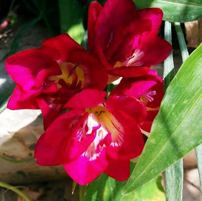 פרח פרזיה בצבע ורוד