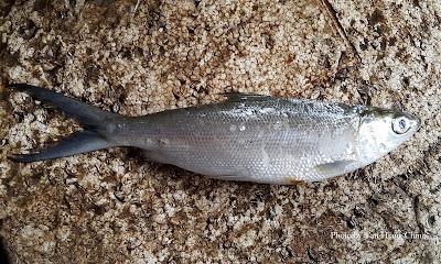 Ikan Susu
