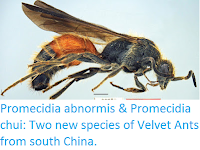http://sciencythoughts.blogspot.co.uk/2016/12/promecidia-abnormis-promecidia-chui-two.html
