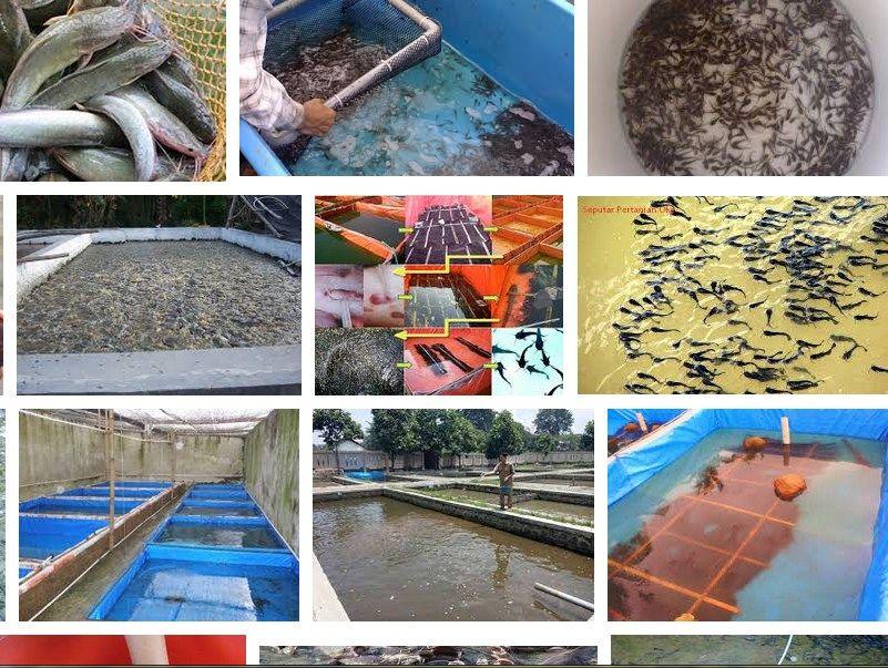 pengertian pembenihan ikan&menetaskan