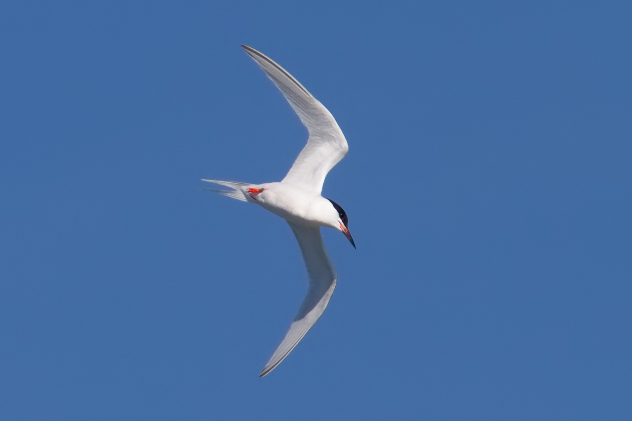 a look at the endangerment of the roseate tern species Wildlife to look out for  the common tern is a  common terns lay their eggs in the shingle and nest in colonies sometimes with other terns like arctic or roseate.