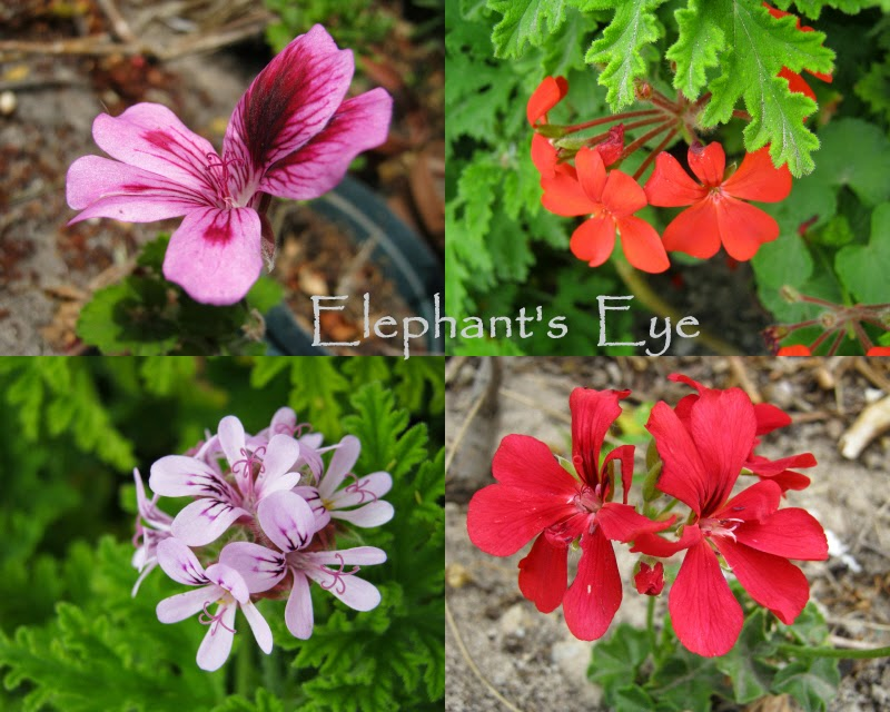Pelargoniums I found in the new garden