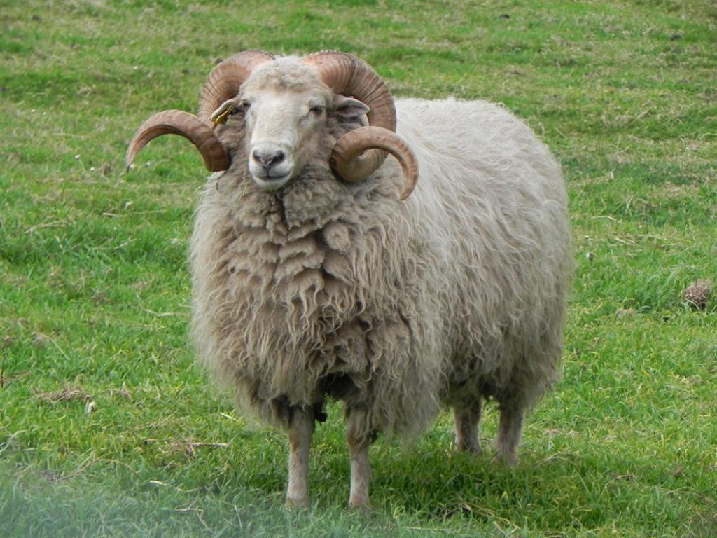 Enroque de ciencia: ¿Son lo mismo carnero, cabra y oveja?