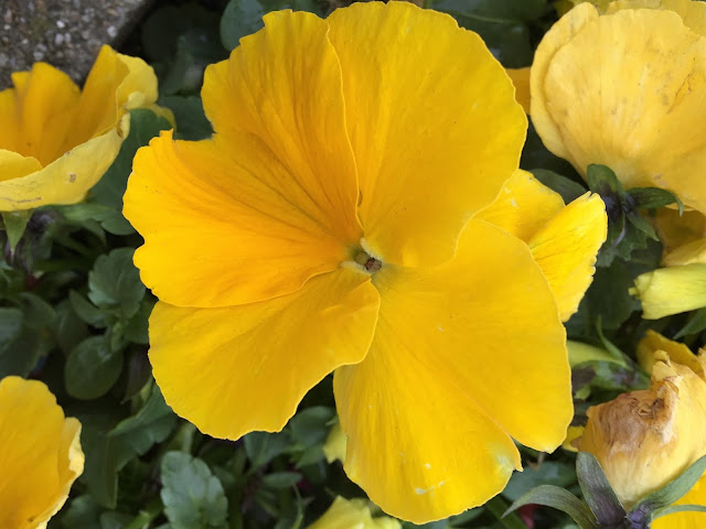 Veilchen gelb