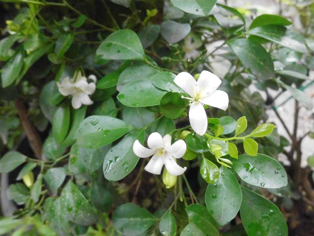 Exotic plants in indonesia kemuning orange jessamine is a tropical plant evergreen plant bearing small white flower scented flowers which is grown as an ornamental tree mightylinksfo