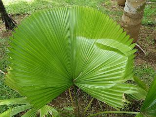 Licuala peltata var. sumawongii - Palmier éventail - Licuale de Sumawong