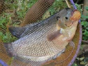 cara ternak ikan gurame,ternak ikan gurame di kolam terpal,ternak ikan nila,mempercepat pertumbuhan ikan gurame,pembesaran ikan gurame,pembesaran ikan gurame di kolam terpal,