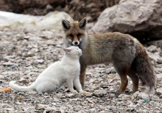 cat fox friendship