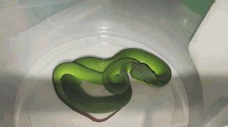 Langkah pertolongan pertama saat digigit ular berbisa