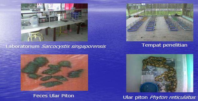 Penelitian biologi menggunakan Sarcocystis singaporensis yang berasal dari feses ular piton, untuk mengontrol populasi tikus sawah.