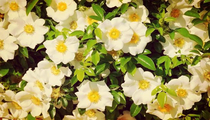 Como cuidar gardenias