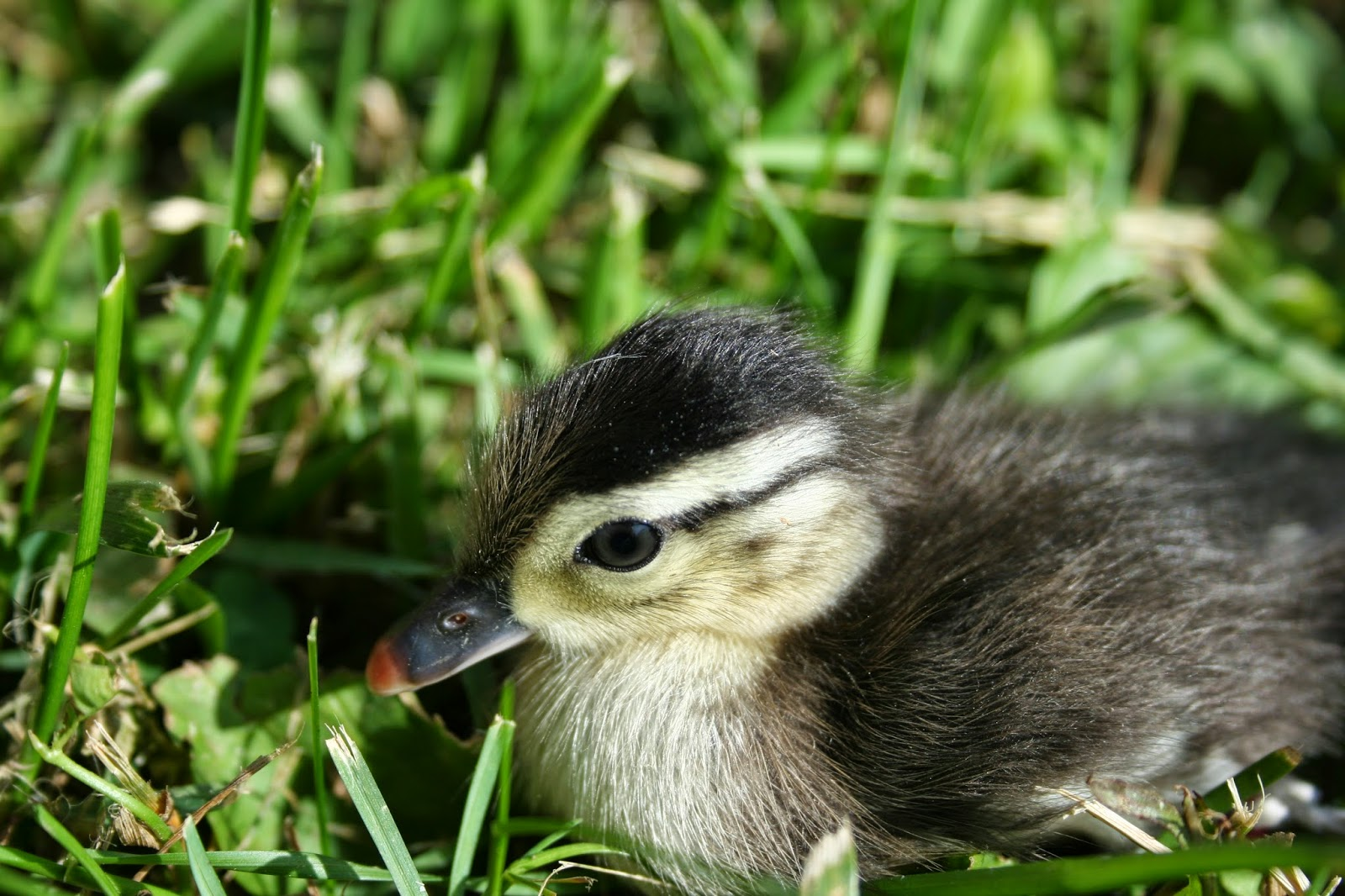 Chicken Scratch Poultry Farm Happenings Raising A Baby Wood Duck