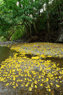 Yellow Flowers at Rio Viejo, Puriscal