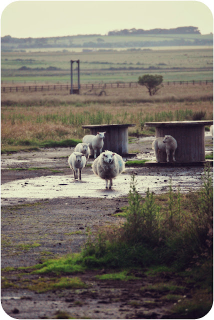 Sheep at Crimond airfield Aberdeenshire