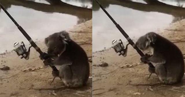 Κοάλα χρησιμοποιεί καλάμι ψαρέματος σε ένα ποτάμι για να πιάσει ψάρια