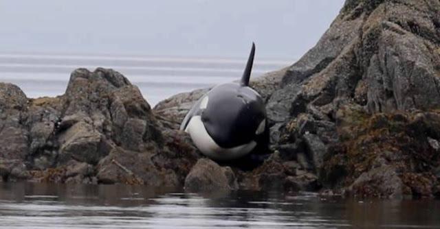 Foto de uma Orca Assassina
