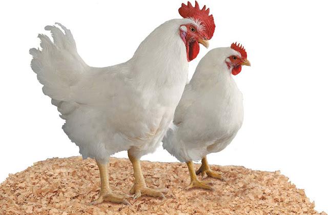 ayam broiler jenis cobb