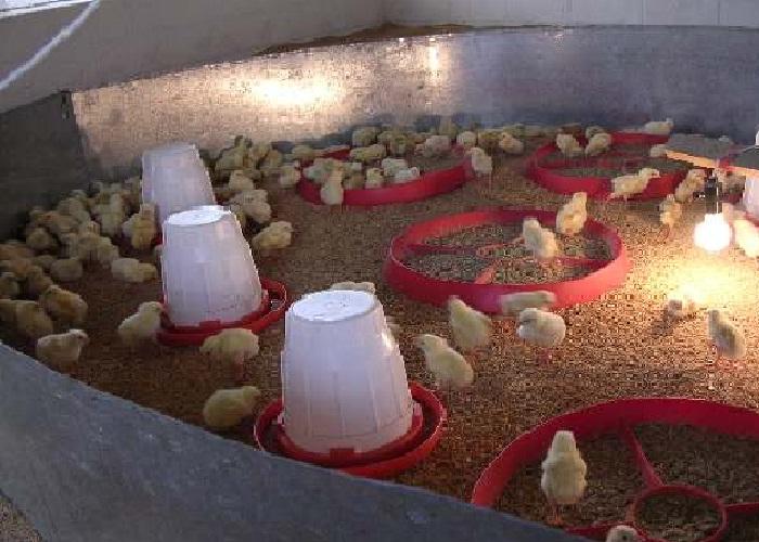 Manual práctico del manejo de pollo de engorde.