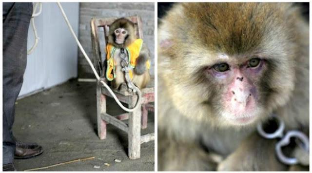 Lihat aksi para monyet di Tiongkok dalam pertunjukkan Tahun Baru Imlek