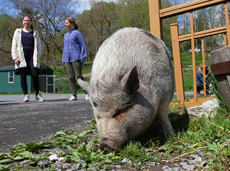 Veganreise New York Catskill Animal Sanctuary Mary Frances Potbelly Pig