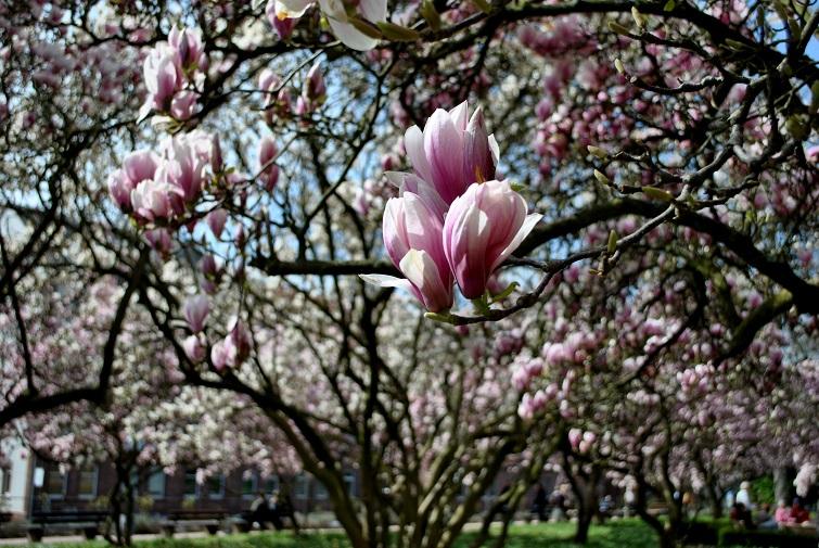 Schöntalpark mit vielen Magnolien