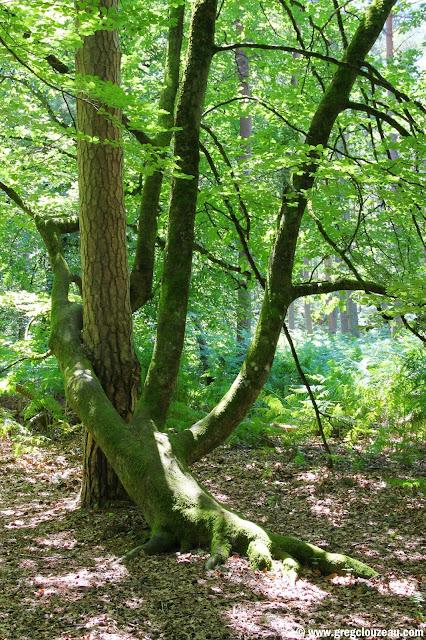 L'étreinte, hêtre, Rocher Canon, Fontainebleau, (C) 2014 Greg Clouzeau