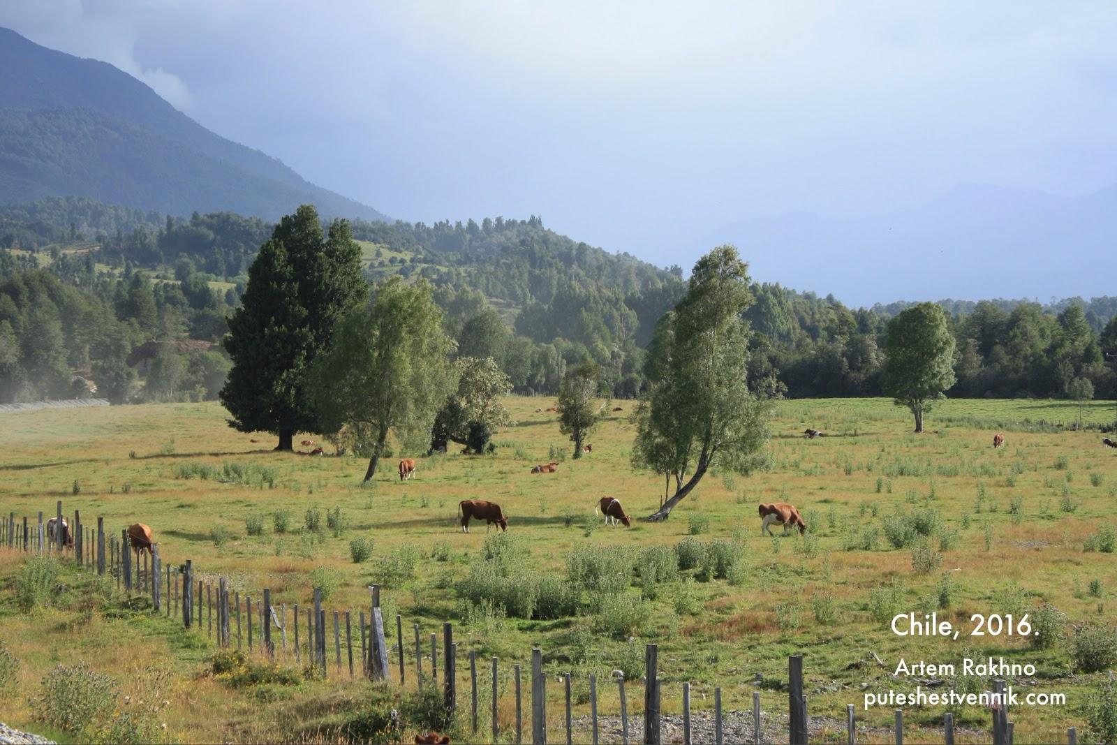 Коровы в поле в Чили