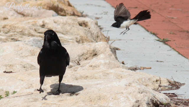 Raven being attacked by a willie wagtail
