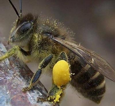 IMÁGENES DE ABEJAS CON POLEN - BEE POLLEN IMAGES