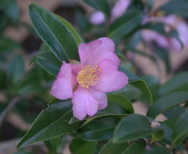 Camellias Tea Room Narberth