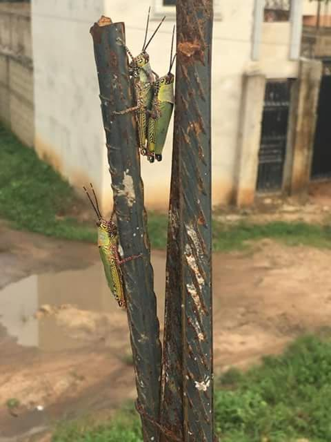"""For the dirty minds: Caption this photo of two grasshoppers """"caught in the act"""""""