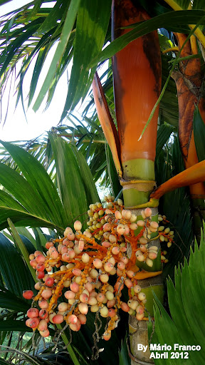 Coquinhos ARECA-DOURADA - ( Areca vestiaria )