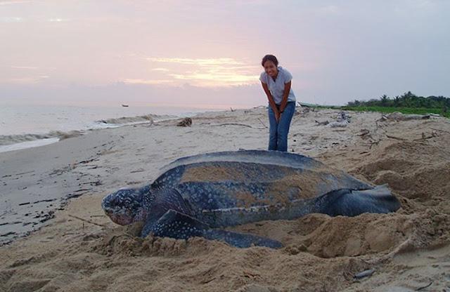 Tartaruga gigante (Imagem: Reprodução/Casos Interessantes)