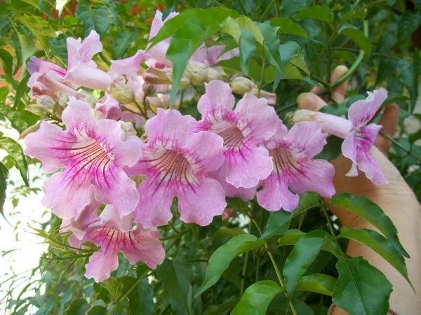 10 plantas trepadoras para cubrir p rgolas o cenadores guia de jardin - Plantas enredaderas de crecimiento rapido ...
