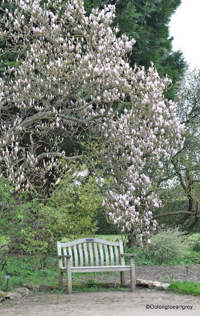 Magnolia in Bloom, Waterperry Garden, England