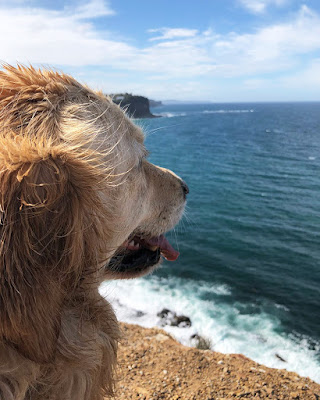 Golden Retriever enjoys hilltop views on Northern Beaches headland walk