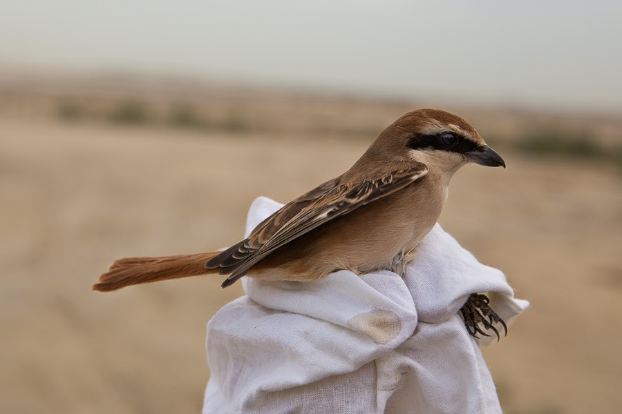 Turkestan Shrike - male