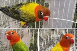 Mengenal Lovebird Biola, Ciri Fisik dan Harga