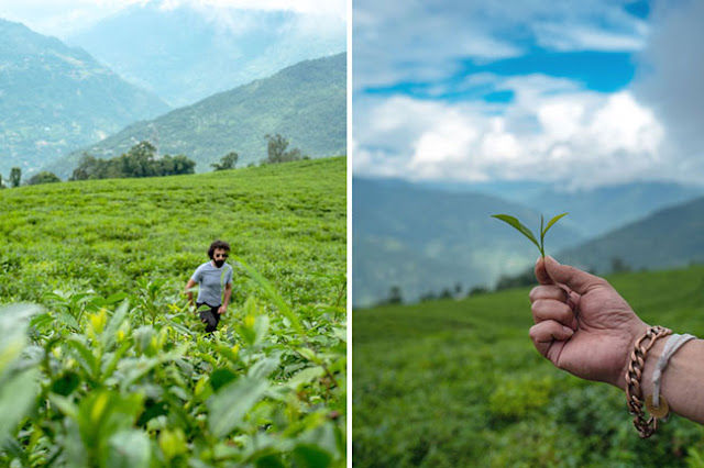 Temi tea gardens sikkim travel blog photo