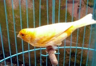burung kenari rusia