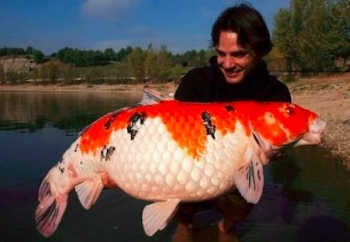 """""""ikan koi paling besar"""""""