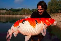 Oh... Waw!! Ini Dia Ikan Koi Terbesar di Dunia