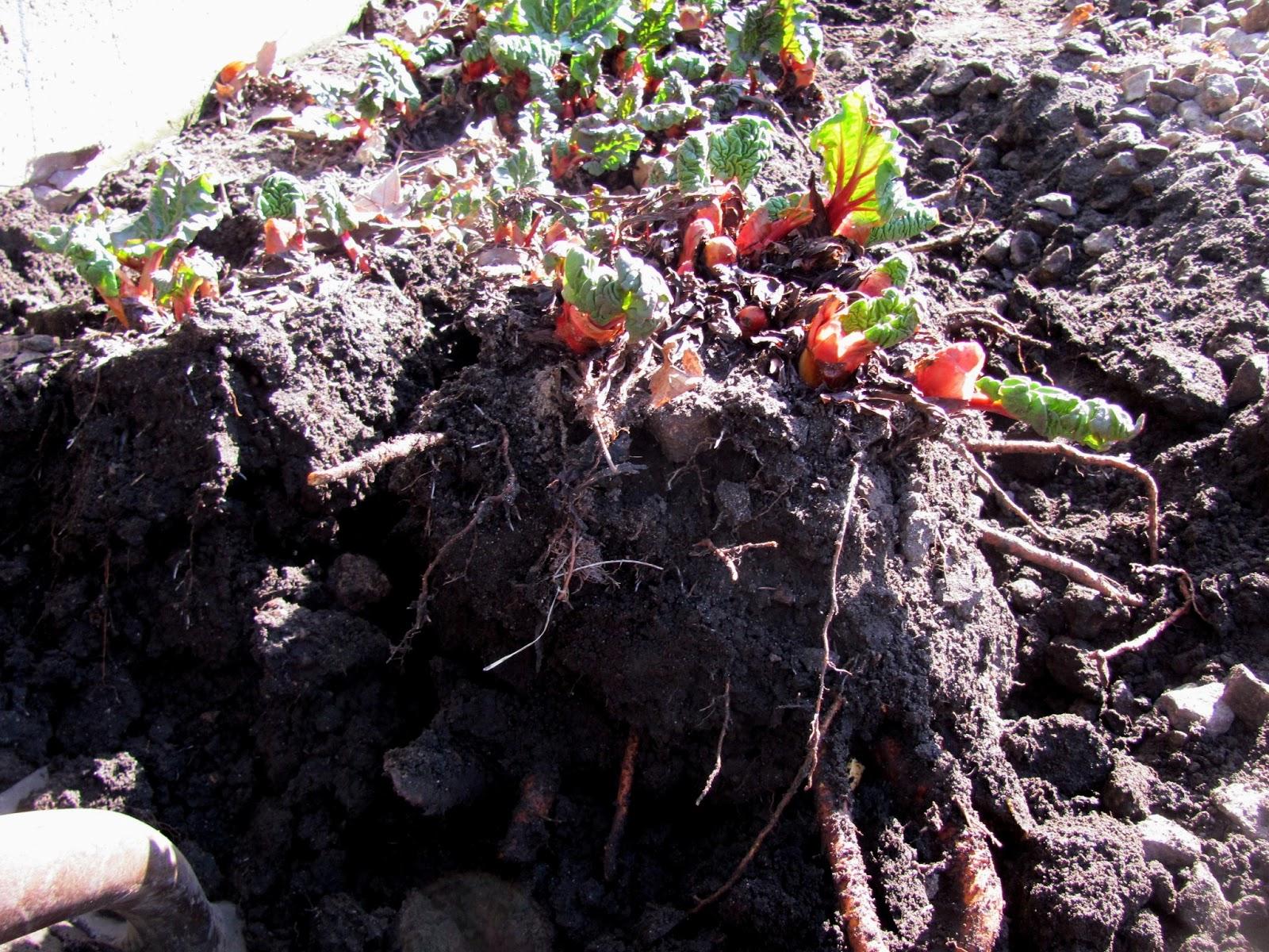 dividing rhubarb plants