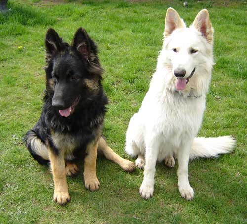 Pets: German Shepherd Dog Information And Pictures