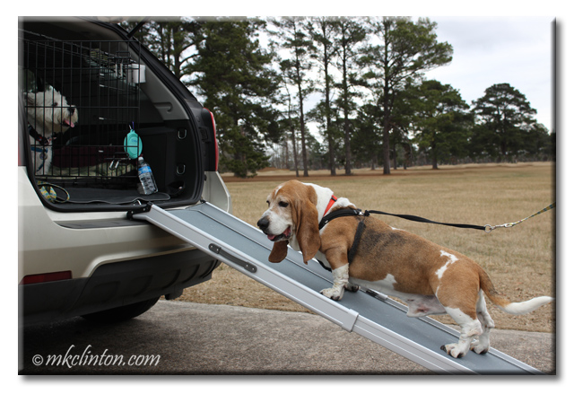 Basset hound walking up ramp